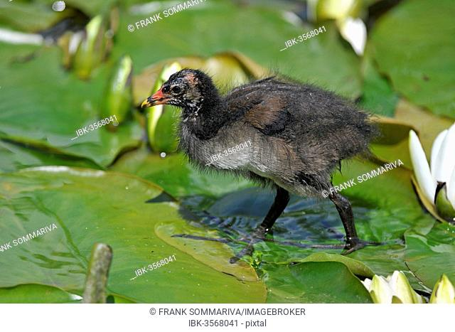 Common Moorhen (Gallinula chloropus), young bird running over the leaves of a Water Lily (Nymphaea alba), Saxony, Germany
