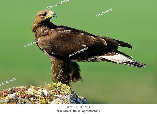 Golden eagle Aquila chrysaetos