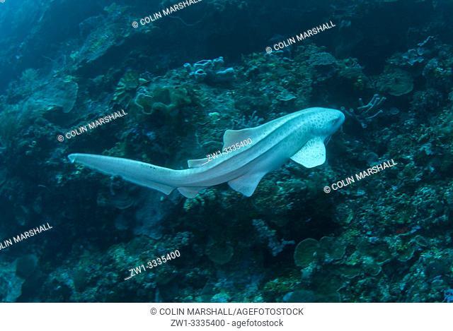Zebra Shark (Stegostoma fasciatum, Stegostomatidae family), Ternate Island, near Alor, Banda Sea, Indonesia