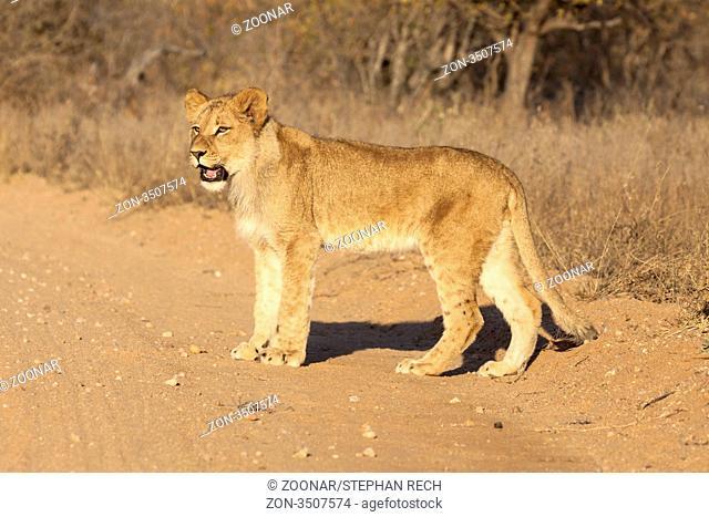 Löwe Panthera leo
