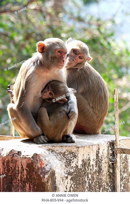 Family of monkeys, baby suckling, at Kapilash Temple (Chandrashekhar Temple), Dhenkanal District, Odisha, India, Asia