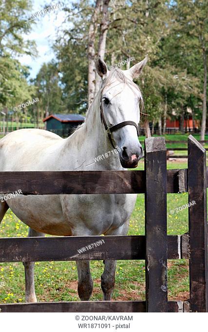 Thoroughbred white horse