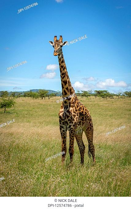 Masai giraffe (Giraffa camelopardalis tippelskirchii) stands watching camera in savannah, Klein's Camp, Serengeti National Park; Tanzania