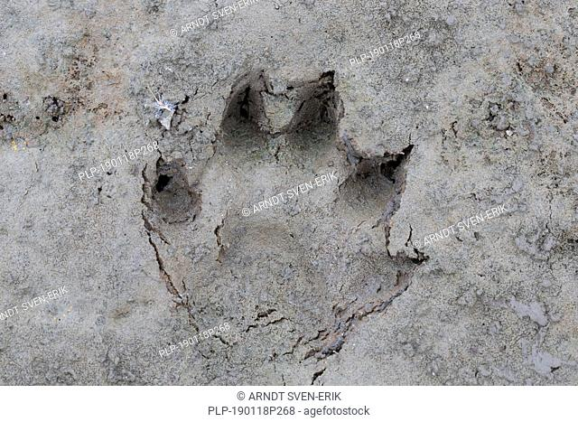 Raccoon dog / racoon dog (Nyctereutes procyonoides) close-up of footprint in wet sand / mud