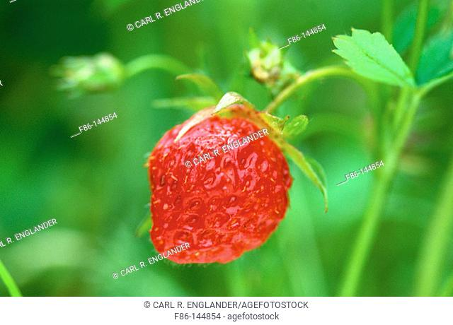Common Strawberry. Fragaria virginiana. New Jersey. USA