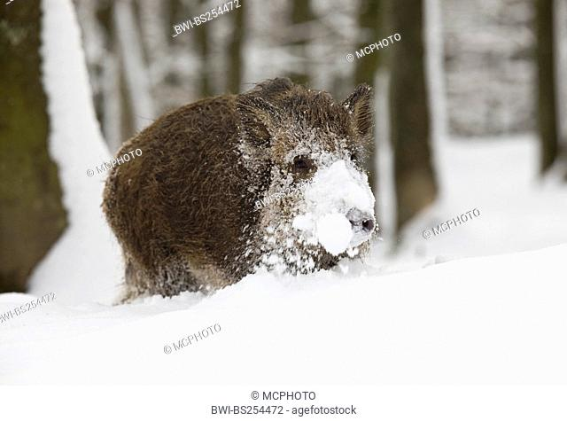 wild boar, pig, wild boar Sus scrofa, with snowcovered with mouth, Germany, Rhineland-Palatinate
