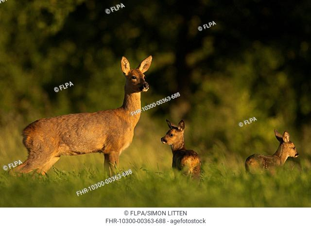 Western Roe Deer (Capreolus capreolus) doe with fawns, standing in field, Norfolk, England, June