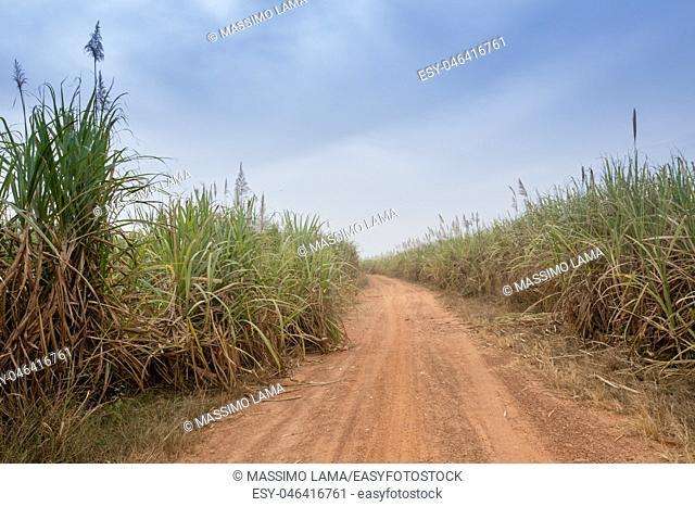 Sugarcane cultivations in Cascades region, Burkina Faso