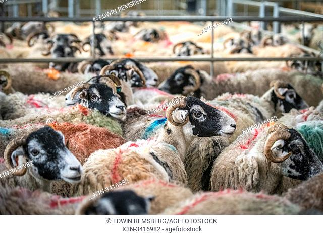 Sheep gathered to be sold at auction, Hawes, Yorkshire, UK
