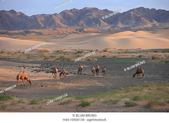Gobi Desert, Mongolia, cold desert, camel, Argali-sheep, Altai, Khongoryn Els, Sand Dunes, landscape