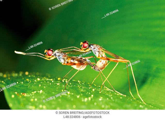 Mating long-legged flies of the fly family Dolichopodidae on big green leaf of lily in damp forest in Thailand, Southeast Asia