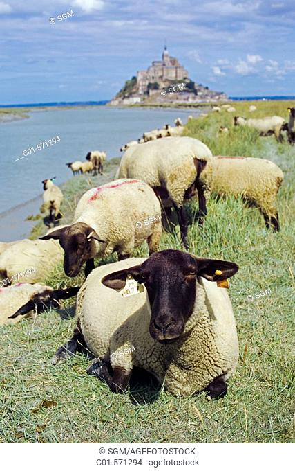 Sheep grazing. Mont Saint Michel and Couesnon River. Manche, Normandy, France