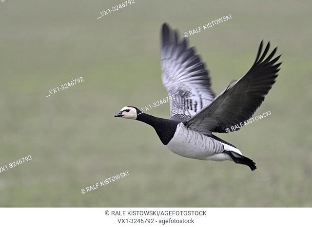 Barnacle Goose / Nonnengans ( Branta leucopsis ) in flight, flying over green farmland, dynamic shot, single bird, wildlife, Europe