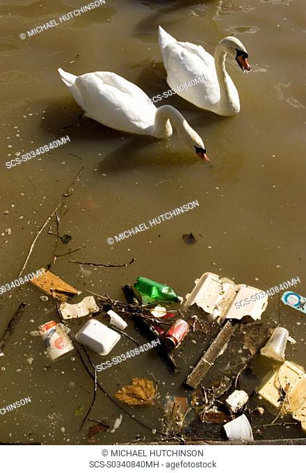 Mute swans Cygnus olor next to floating litter in river Avon, Bristol, UK
