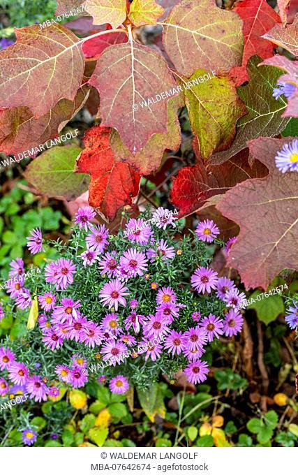 Wild chrysanthemum and oak leaf hydrangea, autumnal leaves, close up
