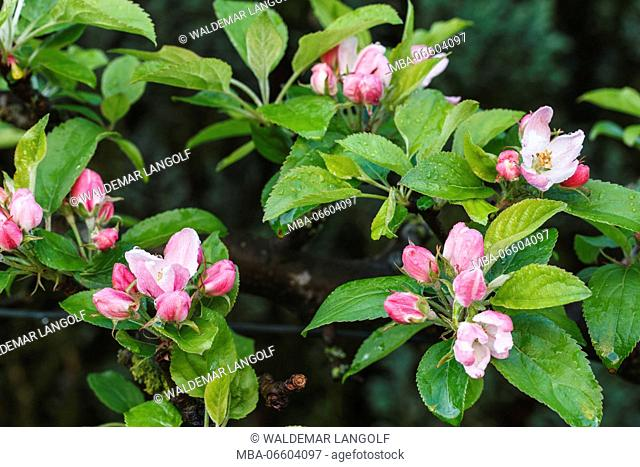 Apple blossom, Malus domesticus, close-up