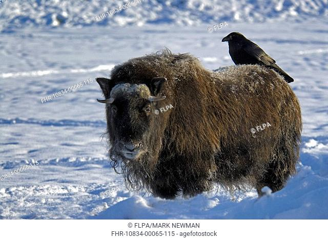 Musk Ox Ovibos moschatus standing in snow, Common Raven Corvus corax perched on back, Alaska, U S A