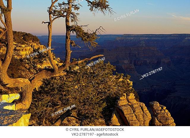 Twisted Tree Mather Point Look Out South Rim Grand Canyon, Early Morning Light