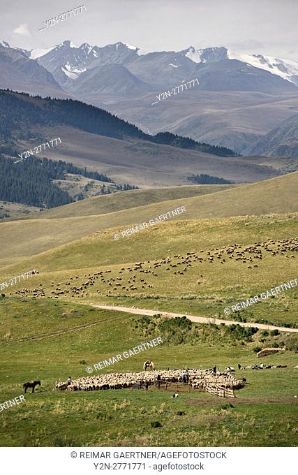 Flock of sheep and herders in remote Assy Turgen plateau with Tien Shan mountains Kazakhstan