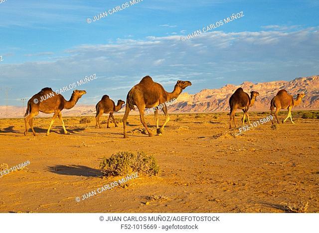 Dromedaries. Desert of Southern Tunisia. Tunez. Africa