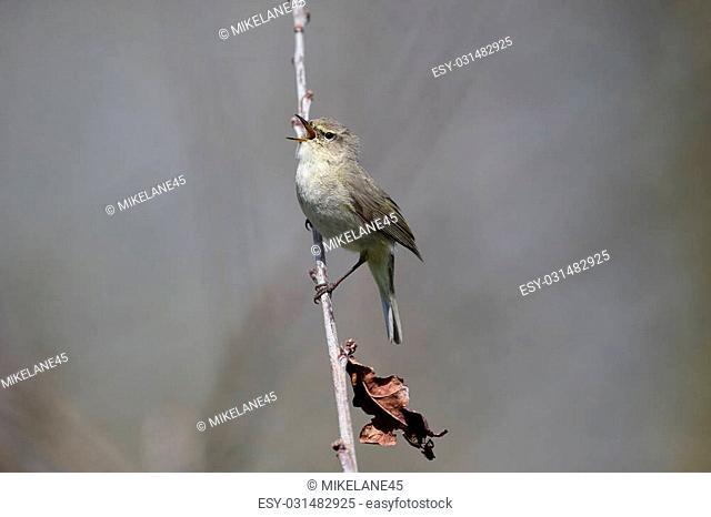 Chiffchaff, Phylloscopus collybita, single bird on branch, Warwickshire, April 2015