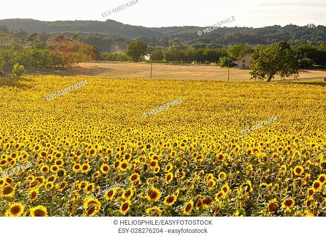 Domme, sun flower field