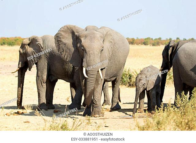 Elephant herd greeting at a waterhole on dry and hot day