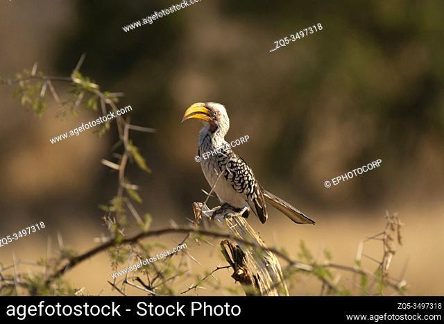 Southern yellow billed hornbill, Tockus leucomelas, Kruger National Park, South Africa