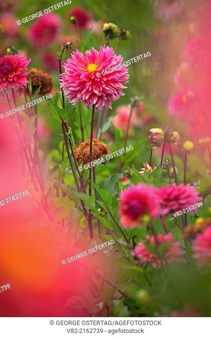 Sonic Bloom dahlia, Swan Island Dahlias, Clackamas County, Oregon