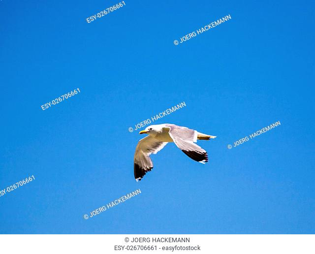 california gull flying over the beautiful Mono Lake in California near Lee Vining