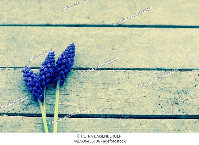Three blossoms of the grape hyacinth lie on a wooden board