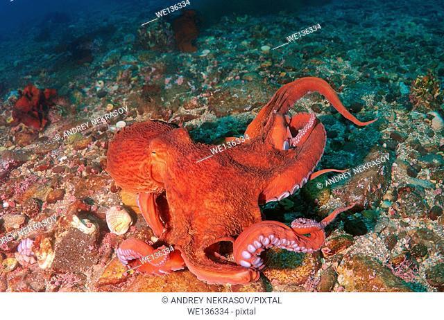 Giant Pacific octopus or North Pacific giant octopus, (Enteroctopus dofleini). Japan sea, Far East, Primorsky Krai, Russia