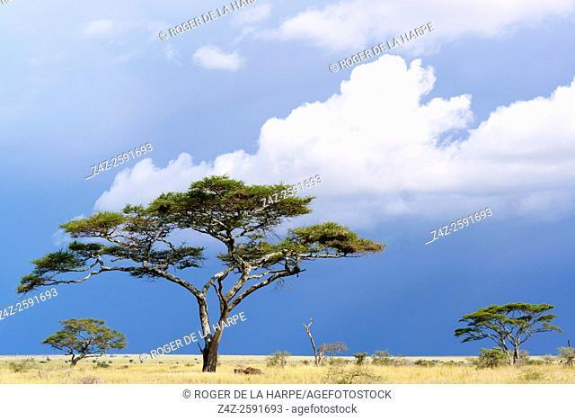 Umbrella thorn acacia, also known as umbrella thorn and Israeli babool (Vachellia tortilis, prev Acacia tortilis). Serengeti National Park. Tanzania