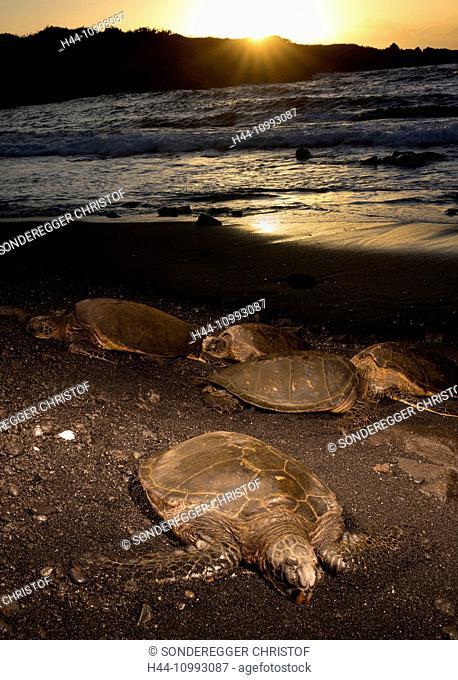 Tortoise, Punaluu, Black sand Beach, Big Island, USA, Hawaii, America, animals, animal, Volcanical, lava