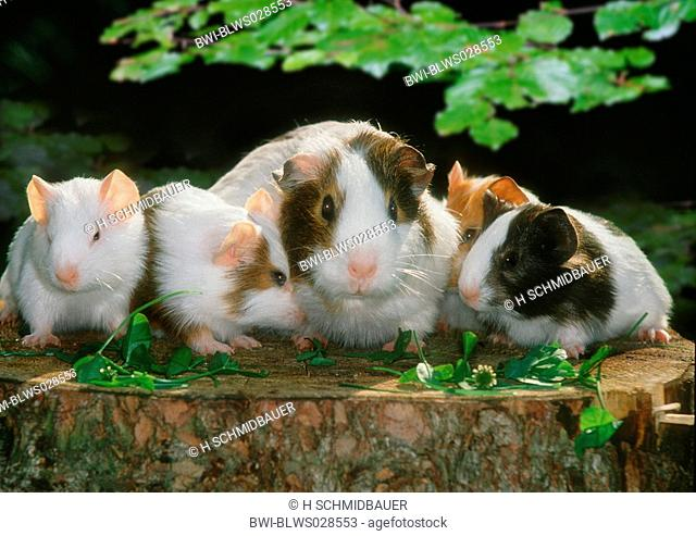 English Guinea pig Cavia aperea f. porcellus, guniea pig family on tree stump
