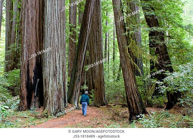 Hiker on Bull Creek Trail North through old growth coast redwood forest, Rockefeller Grove, Humboldt Redwoods State Park, Humboldt County, California