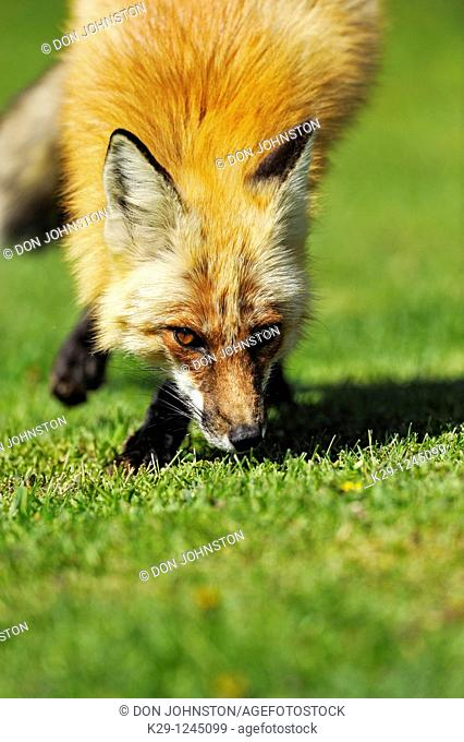 Red fox (Vulpes vulpes) on rural lawn in spring