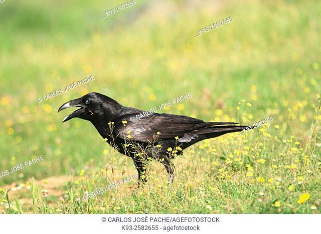 Un Cuervo Común. Parque Nacional de Monfrague, Extremadura, Spain