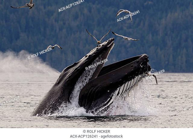 Humpback whale (Megaptera novaeangliae) lunge feeding in Blackfish Sound of Hanson Island near the Broughton Archipelago, First Nations Territory
