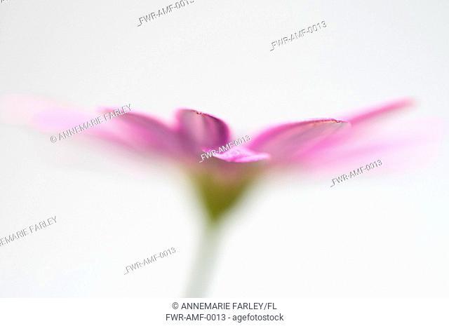 Osteospermum, Cape daisy