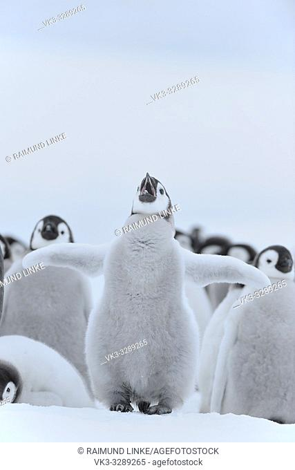 Emperor penguins, Aptenodytes forsteri, Chick Spreading Wings, Snow Hill Island, Antartic Peninsula, Antarctica