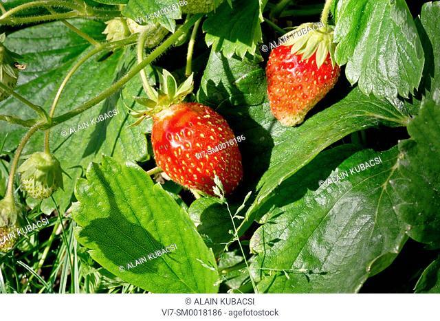 Strawberry 'Cirafine'