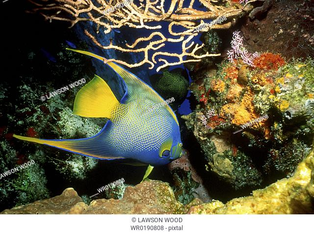 Queen angelfish Holacanthus ciliaris swimming through coral reef with sea fans and sponges, Cozumel, Mexico, Caribbean