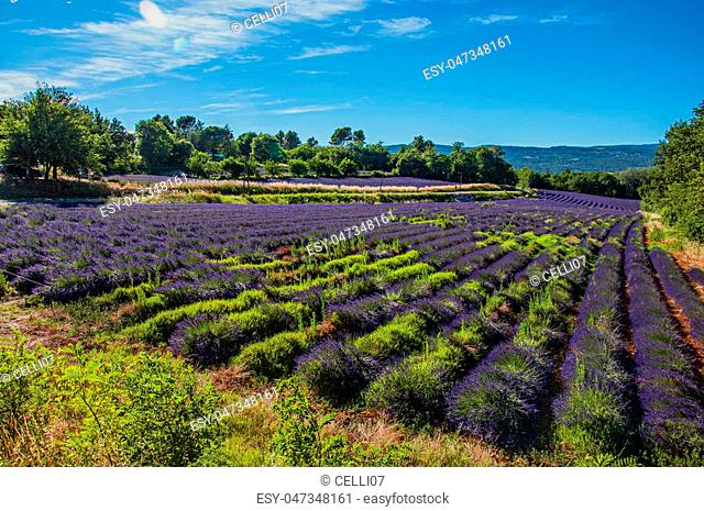 Panoramic view of field of lavender flowers under sunny blue sky, near the village of Roussillon. In the Vaucluse department, Provence region