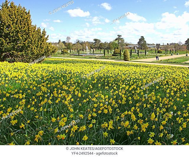 Spring Daffodils at Trentham Gardens Estate in the Italianate garden Stoke on Trent Staffordshire England UK
