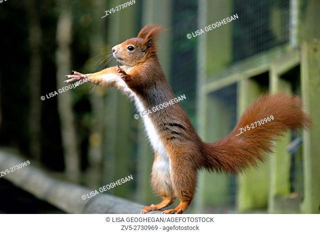 Red Squirrel-Sciurus vulgaris. Winter. Uk