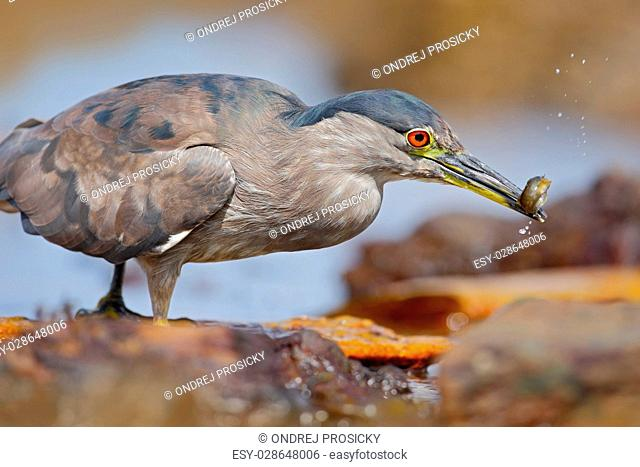Grey water bird night heron sitting on the stone