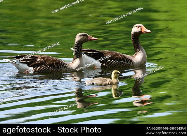 13 May 2020, Saxony, Moritzburg: Two grey geese and a chick are swimming on a pond. Photo: Sebastian Kahnert/dpa-Zentralbild/ZB