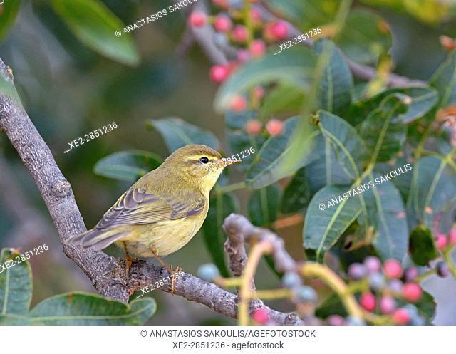 Willow Warbler (Phylloscopus trochilus), Greece