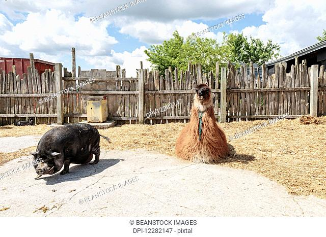 Llama and pot-bellied pig on farm; Caledon, Ontario, Canada